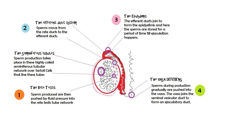 Female sperm production