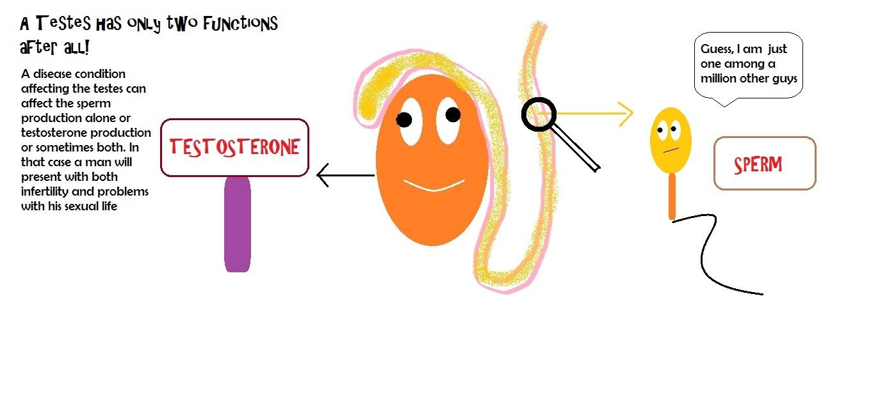 Testes   Sperm   Testosterone