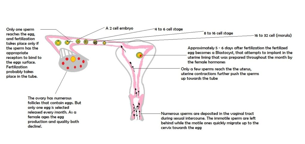 Fertilization and reproduction and fertility