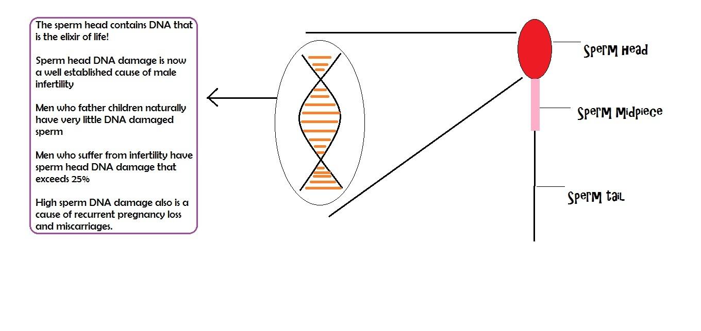 Sperm DNA fragmentation   male infertility